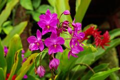 Purple orchids growing wild on Sulawesi island, Indonesia royalty free stock images