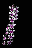 Purple orchids isolated on black background. Purple orchids isolated on black background in Thailand Stock Photo