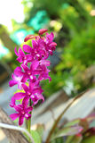 Purple orchids in the nature.  Royalty Free Stock Photo