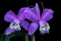 Purple orchids. Nice purple orchid from brazil Stock Photography