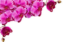 Purple orchids. Purple orchid on white background Stock Image