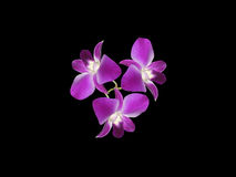 Purple Orchids (Orchidaceae). Orchids, the symbol of love, virility, fertility, and luxury. Perfection in nature Stock Image