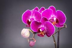 Purple orchids stock images