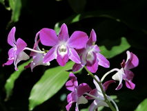 Purple Orchids. Singapore - August 2016 Purple orchids at the Singapore National Orchid Garden. This garden is located within the Singapore Botanic Garden, a Royalty Free Stock Photography