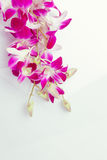 Purple orchids Thailand. Royalty Free Stock Image