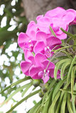 Purple orchids on trees. Royalty Free Stock Photo