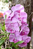 Purple orchids on trees. Royalty Free Stock Photos