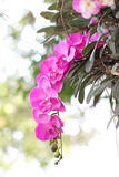 Purple orchids on trees. Royalty Free Stock Photography