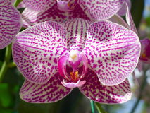 Purple orchids / Tropical orchids / Thai orchids Royalty Free Stock Images