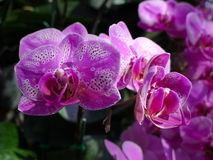 Purple orchids / Tropical orchids / Thai orchids Stock Photo