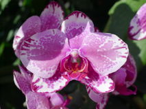 Purple orchids / Tropical orchids / Thai orchids Stock Images
