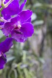 Purple orchids(Vanda) Stock Photos