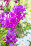 Purple orchids, Vanda. Royalty Free Stock Photos