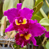 Purple orchids, Violet orchids. Orchid is queen of flowers. Orchid in tropical garden. Orchid in nature. Stock Images