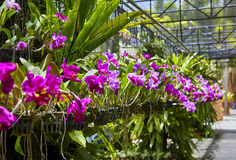 Purple orchids, Violet orchids. Orchid is queen of flowers. Orchid in tropical garden. Orchid in nature. Stock Photography