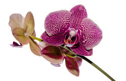 Purple orchids  on white. Stock Photos