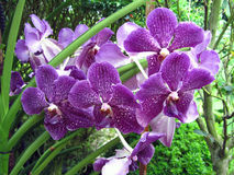 Purple Orchids with white spots. Singapore - July 2015   A sprig of purple orchids with white spots in the Singapore National Orchid Gardens Royalty Free Stock Photos