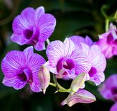 Purple orchirds. Beautiful purple orchids in the garden Royalty Free Stock Photos