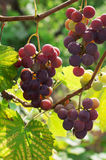 Purple organic grapes Stock Photos