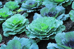 Purple ornamental cabbage Royalty Free Stock Photography