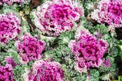 Purple ornamental cabbage is a great garden decoration. Select focus.  royalty free stock photography