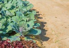 Purple ornamental cabbage Stock Photos