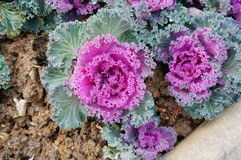 Purple ornamental cabbage Royalty Free Stock Image