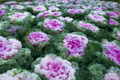 Purple ornamental cabbage plant Stock Images