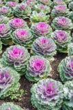 Purple Ornamental Cabbage plants Royalty Free Stock Photo
