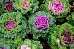 Purple Ornamental Cabbage plants Stock Photo