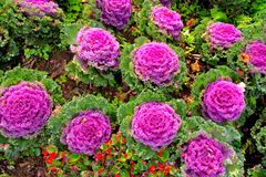 Purple Ornamental Cabbage plants Stock Images