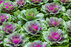 Purple Ornamental Cabbage plants Royalty Free Stock Photography