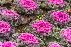 Purple ornamental cabbage Royalty Free Stock Images