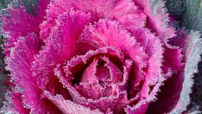 Purple Ornamental Cauliflower for Background royalty free stock photo