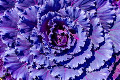 Purple Ornamental Decorative Flowering Cabbage Covered Royalty Free Stock Photos