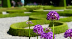Purple ornamental garlic & x28;Allium hollandicum& x29; with low depth of field in front of a baroque garden. Germany Royalty Free Stock Photography