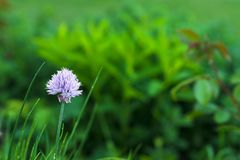 Purple ornamental garlic flower grows on a green flowerbed in the garden stock photography