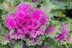 Purple ornamental kale Stock Photo