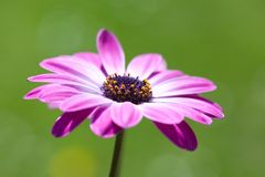 Purple Osteospermum, african daisy Royalty Free Stock Photos