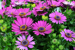 Purple Osteospermum, African Daisy or Cape Daisy. Close up of a colorful arrangement of purple Osteospermum flowers. Nice floral background Stock Photos