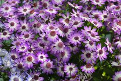 Purple Osteospermum. Bush of African Daisies from the sunflower family Asteraceae. Purple Osteospermum. Bush of blooming African Daisies from the sunflower stock image