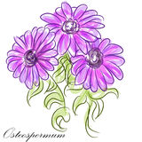 Purple Osteospermum Daisies Stock Photos