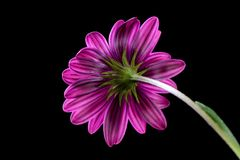 Purple Osteospermum Daisy or Cape Daisy flower Stock Photos