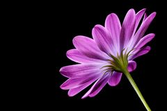 Purple Osteospermum Daisy or Cape Daisy flower Stock Photography