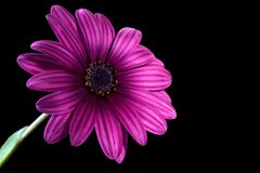 Purple Osteospermum Daisy or Cape Daisy flower Royalty Free Stock Images