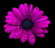 Purple osteospermum daisy flower isolated over black background Stock Photo