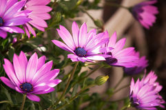 Purple Osteospermum daisy flowers Royalty Free Stock Photography