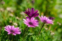 Purple Osteospermum ecklonis flowers macro in the park. Blurred background stock photo