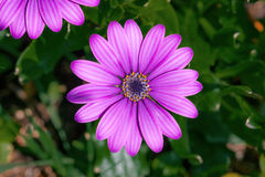 Purple Osteospermum flowerhead in a garden Royalty Free Stock Image