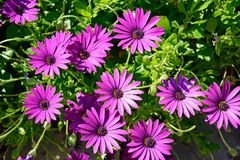 Purple Osteospermum flowers, Malta. Purple Osteospermum flowers, Malta, Europe Royalty Free Stock Photo